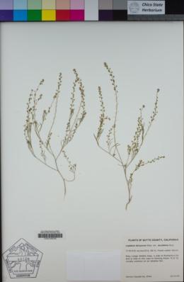 Lepidium acutidens image