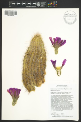 Echinocereus fasciculatus image