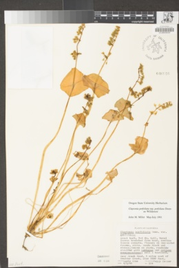 Claytonia perfoliata subsp. perfoliata image