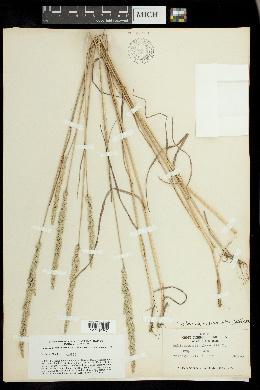 Koeleria pyramidata var. pyramidata image