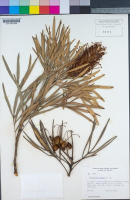 Image of Grevillea banksii