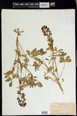Lupinus texensis image