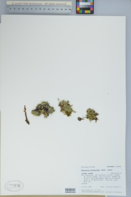 Cherleria obtusiloba image