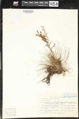 Image of Tillandsia argentea