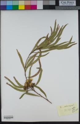 Image of Eucalyptus astringens