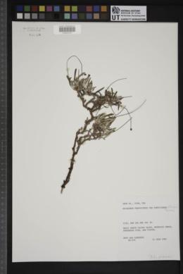 Eriogonum panguicense var. panguicense image