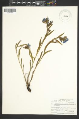 Mertensia lanceolata image
