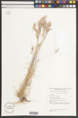 Image of Austrodanthonia caespitosa