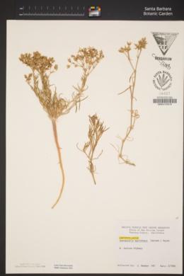 Spergularia macrotheca image