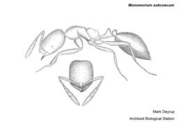 Image of Monomorium subcoecum