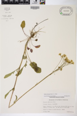 Packera paupercula image