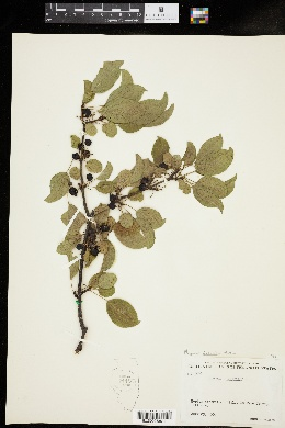Image of Rhamnus japonica