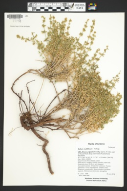 Galium multiflorum image