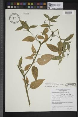 Image of Solanum dianthum