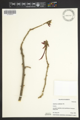Image of Erythrina coralloides