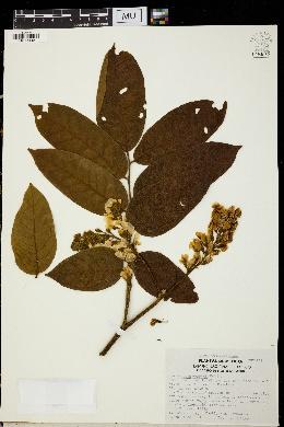Image of Pterocarpus rohrii