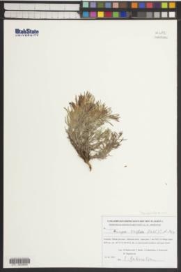 Image of Bungea trifida