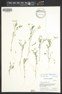 Astragalus nuttallianus var. imperfectus image