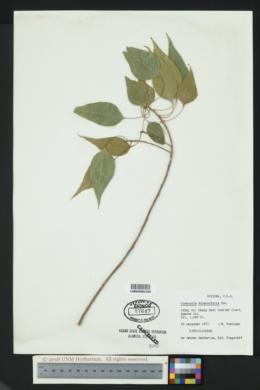 Image of Brachychiton populneum