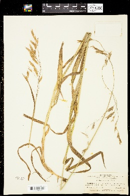 Image of Bromus pacificus