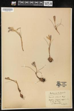 Image of Crocus corsicus