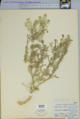 Lepidium thurberi image
