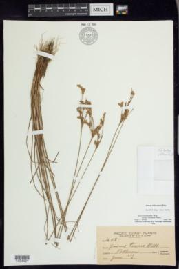 Image of Juncus trilocularis