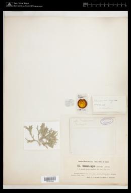 Tricleocarpa fragilis image