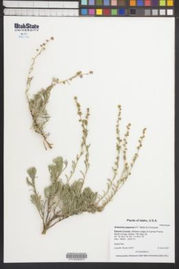 Artemisia papposa image