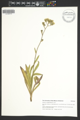 Image of Hieracium cynoglossoides