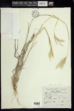 Bothriochloa barbinodis image
