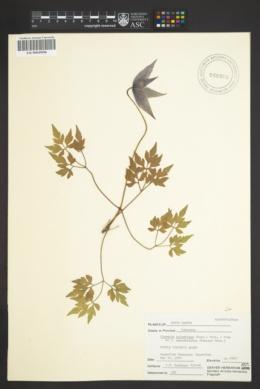 Clematis columbiana image