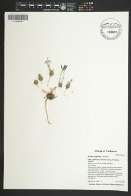 Image of Arabis pygmaea