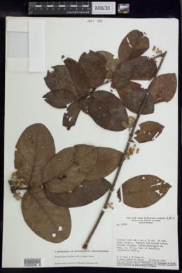 Image of Banisteriopsis latifolia
