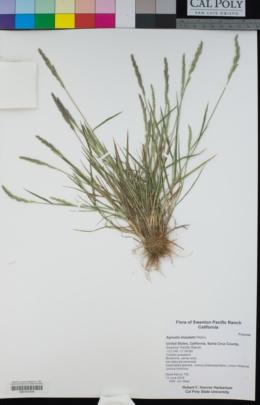 Agrostis blasdalei image