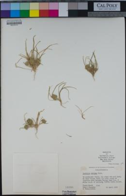 Image of Lepidium latipes