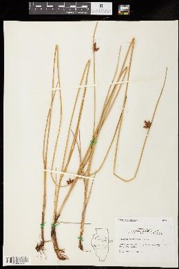 Schoenoplectus pungens var. pungens image