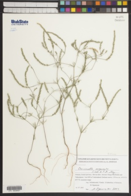 Image of Crucianella exasperata
