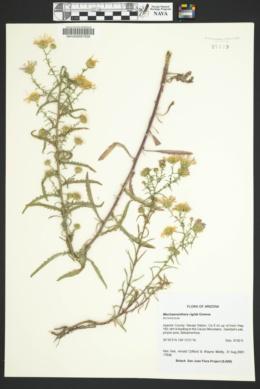 Dieteria canescens var. aristata image