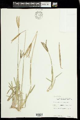 Eustachys glauca image