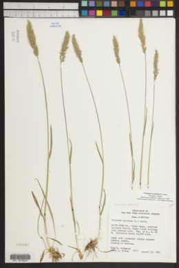Trisetum spicatum image