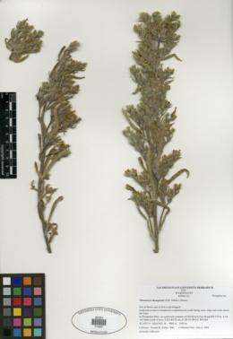 Oreocarya thompsonii image