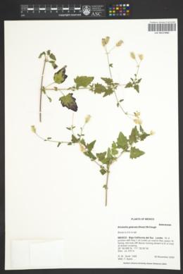 Image of Brickellia glabrata