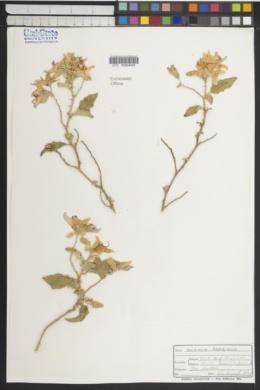 Solanum tridynamum image