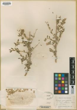 Grayia polygaloides image
