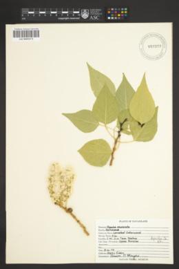 Populus x acuminata image