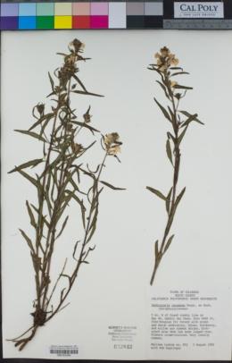 Pedicularis racemosa image