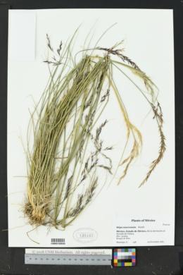 Image of Stipa mucronata