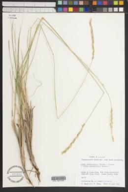Image of Leymus karataviensis