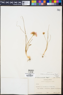Image of Allium helleri